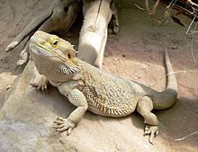 Central Bearded Dragon- I WANT ONE!