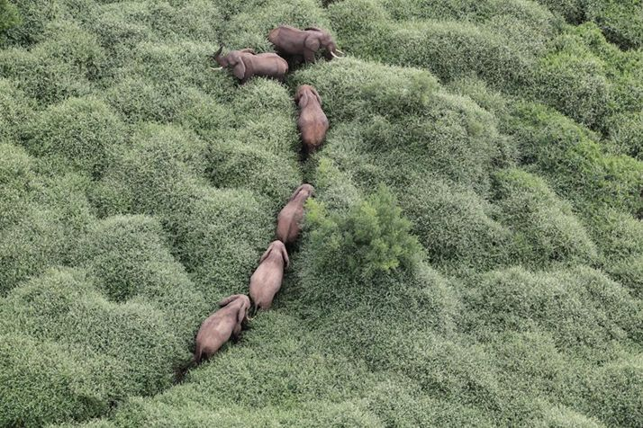 b0yscout:  cybergata:  Elephants walking through a rain forest.  i thought these were bunnies in a field of grass but ok   I thought they were bunnies too