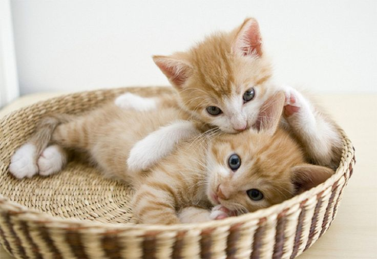 Cute White Kittens in a Basket by latestnewsfromindia24 on ...