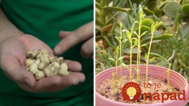 Kupujte drahé pistácie? Takto jednoducho ich môžete pestovať aj doma, z pistácie z obchodu!