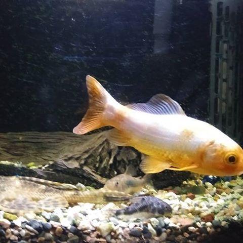 【kazuya.oda】さんのInstagramをピンしています。 《飼いはじめて5年。老化で色が抜けてきた😵💦 でも益々元気😊 * #金魚 #和金 #熱帯魚 #アクアリウム #金魚鉢 #金魚すくい #縁日 #お祭り #長生き #名前はピッコロ #食欲旺盛 #褪色 #ペット》