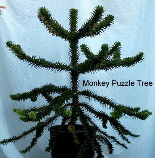 Related searches:monkey puzzle book norfolk island pine Search Results  576×768-weisbergvbclywd.blogspot.com