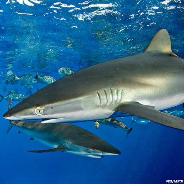 Silky Sharks - The silky shark (Carcharhinus falciformis) is a species of requiem shark, family Carcharhinidae, named for the smooth texture of its skin. It is one of the most abundant sharks in the pelagic zone, and can be found around the world in tropical waters.