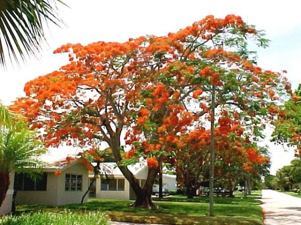 This Flowering Species Of Tree Is Also Known As The C