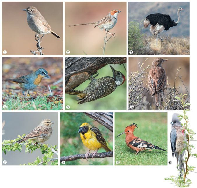 Karoo Birding - top 10 birds