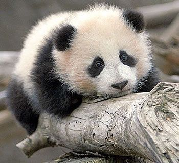 wild life | Baby Panda Bear 2 Animal iPhone Wallpapers, iPhone 5(s)/4(s)/3G