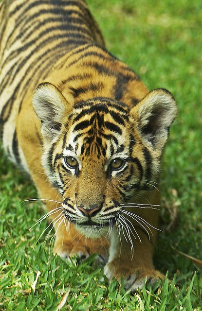 Very Curious Tiger Cub | Flickr - Photo Sharing!