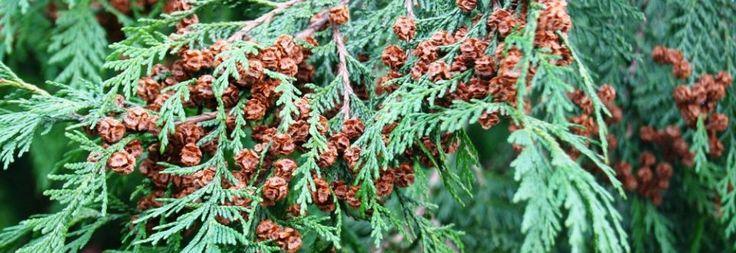 Plant Ident - Chamaecyparis lawsoniana
