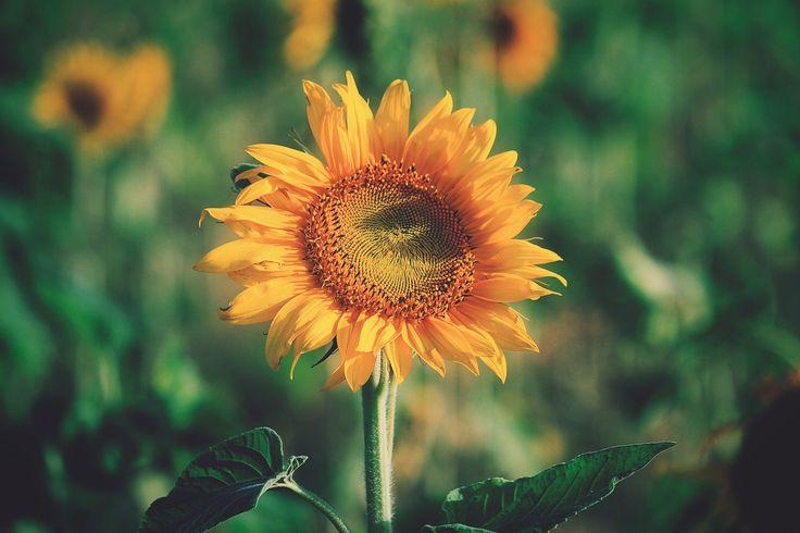 girasol, flor, planta, cultivo, plantación, de cerca, 1712021713