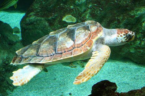 A vida marinha encontrada nas ilhas Canárias também é variada, sendo uma combinação de Atlântico Norte , Mediterrâneo e espécies endêmicas. Nos últimos anos, a crescente popularidade do mergulho e fotografia subaquática forneceram aos biólogos muita nova informação sobre a vida marinha das ilhas.  Há 5 espécies diferentes de tartarugas marinhas que são avistadas periodicamente nas ilhas, sendo a mais comum delas sendo a tartaruga-amarela ou tartaruga-cabeçuda ameaçada de extinção.