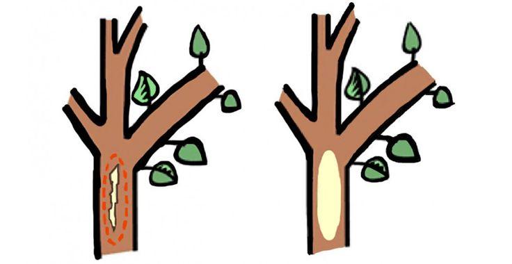 Cum se repară crăpăturile apărute în scoarța pomilor | Paradis Verde