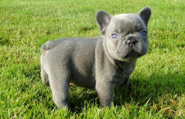 bulldog francês cinza