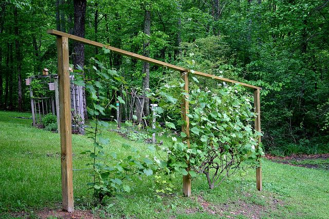 Backyard Vineyard Ideas :  Backyard vineyard on Pinterest  Raised beds, Vines and Fence ideas