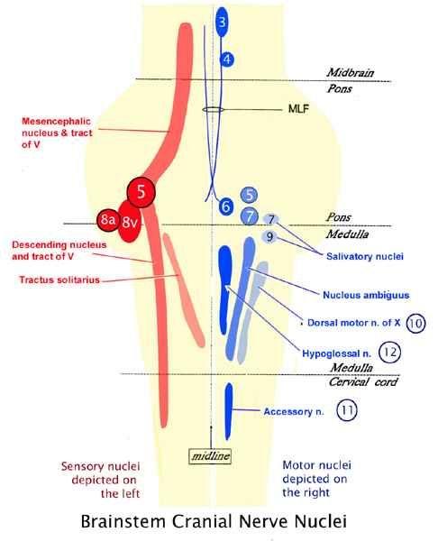 Brainstem Cranial Nerve Nuclei cranial nerves on pinterest