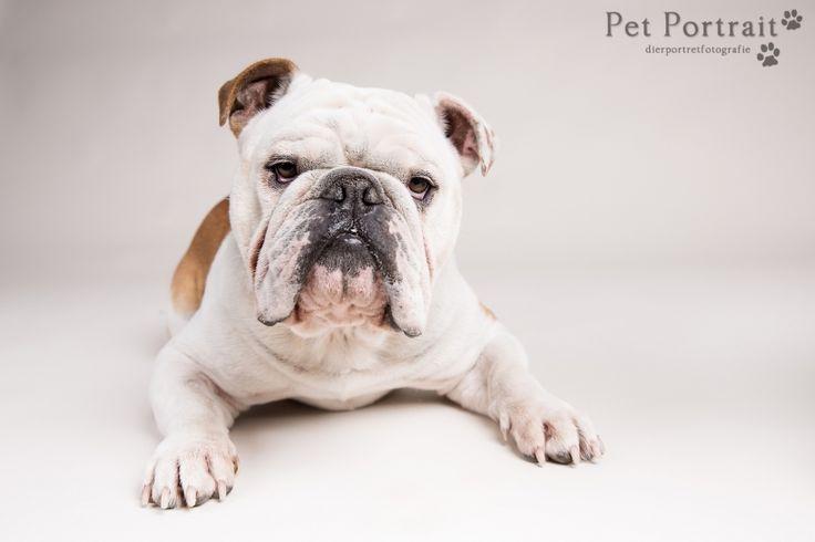 Hondenfotografie Hillegom - Fotoshoot Engelse Bulldog en Cocker Spaniel pup-8