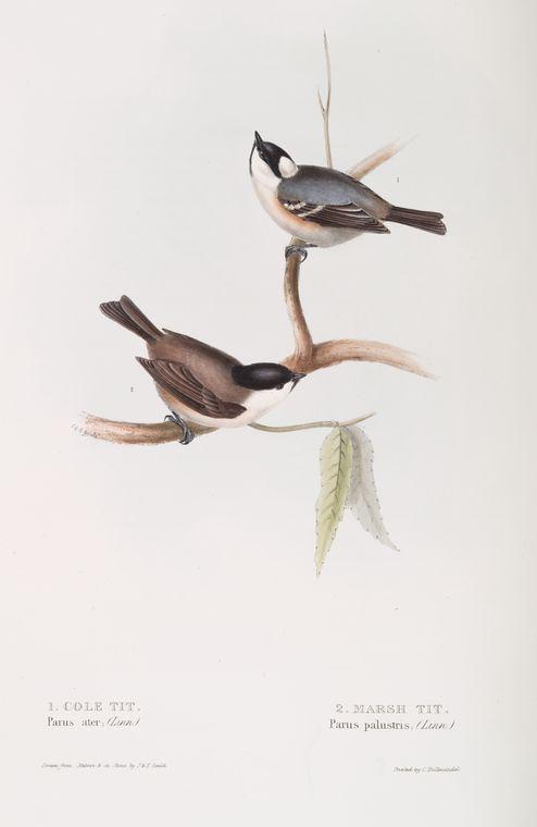 Cole Tit (Parus ater); Marsh Tit (Parus palustris).