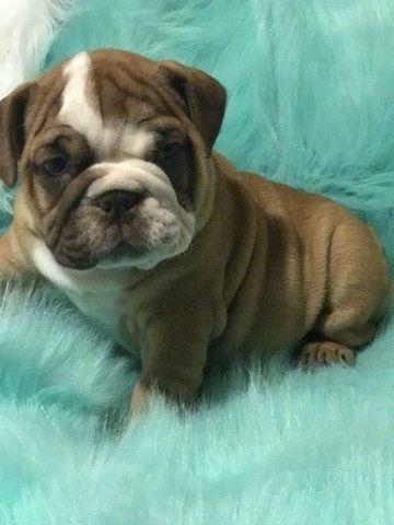 Bulldog Puppy For Sale In Revere Ma Adn 67879 On Puppyfindercom