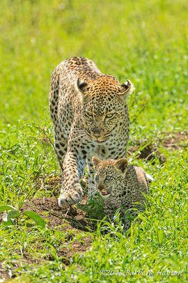 leopardo, leopardo, fotos cachorro de leopardo, fotos, imágenes de leopardo cachorro de leopardo, vida salvaje tanzania, tanzania fotos de la fauna, tanzania safari, tanzania fotos de safari, africano fotos de safari, gatos africanos, leopardos, leopardos en África en Tanzania