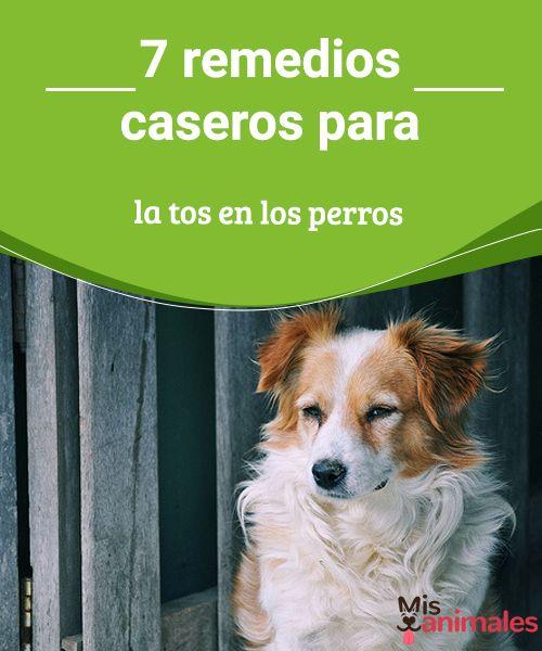7 remedios caseros para la tos en los perros  Algunos remedios caseros para aliviar la tos en los perros. Los perros pueden tener tos por motivos diversos: desde alergias de estación hasta por atragantamientos con la comida. #remedios #caseros #salud #latos