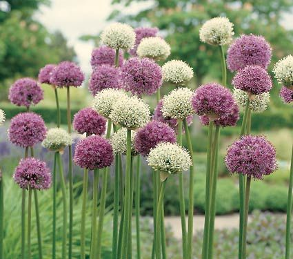 Alliums - just planted a bunch in my front garden.  Plan to cut, dry and spray paint white for Christmas decorations!!