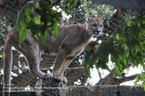 Puma en Colombia