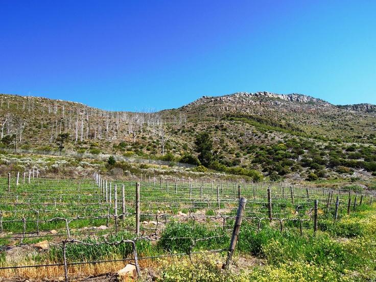 Steenberg #Vineyard