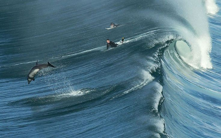 A dolphin jumps out of the back of a wave in front of surfers at Black's Beach in San Diego, USA, after large surf started to roll into the coast