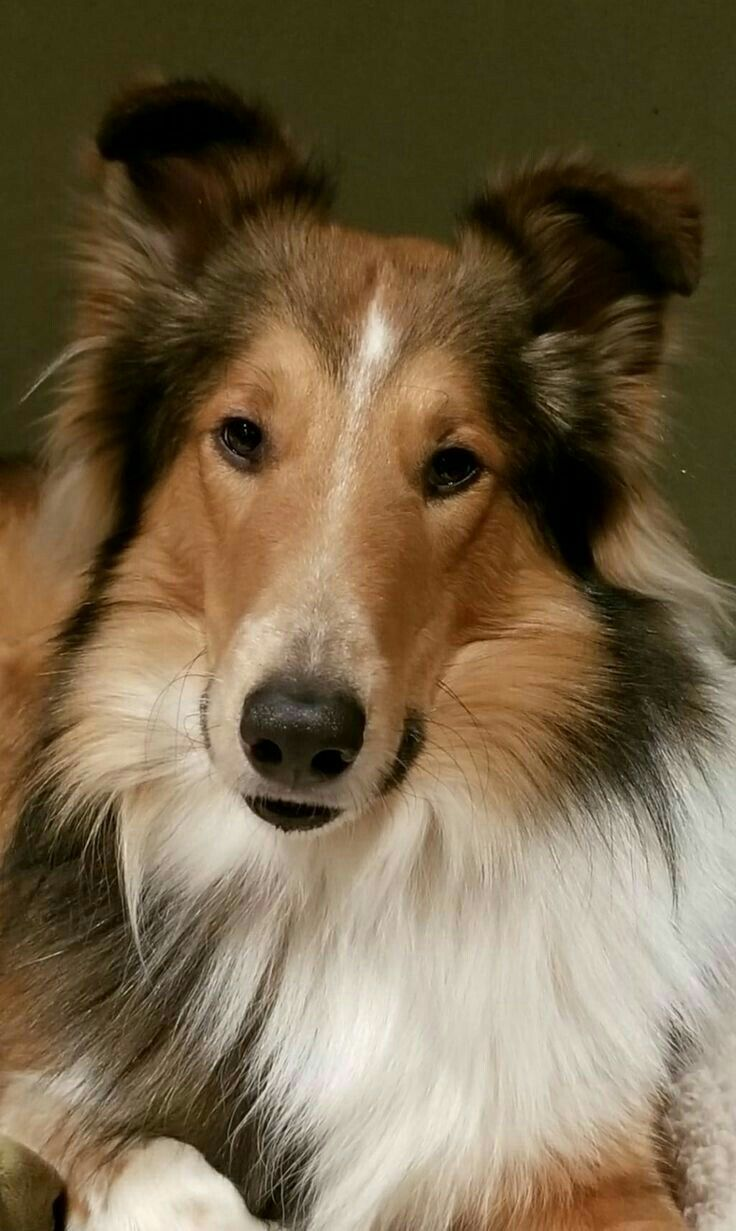A Very Lovely Collie Face Collie Dog Rough Collie Sheltie Dogs