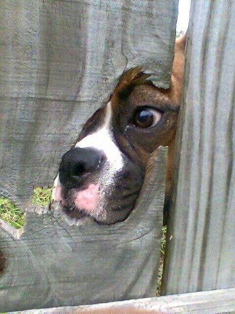 Meet Agent Boxer _____(shhhh) Secret Investigator.
