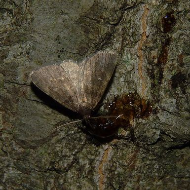 Sugar baits will attract moths. - Flickr user Dendroica cerulea (Some rights reserved)