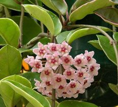 Flowering House Plants indoor flowering plants images. . collection of flower houseplants