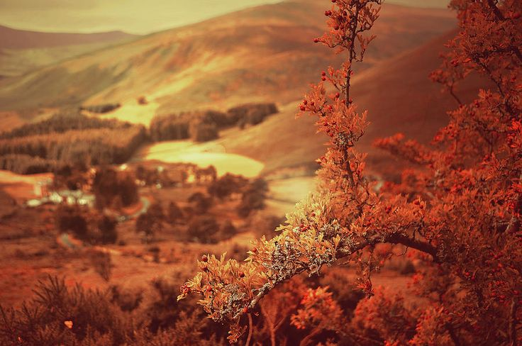 Hawthorn Branch With View To Wicklow Hills. Ireland. Toned by Jenny Rainbow