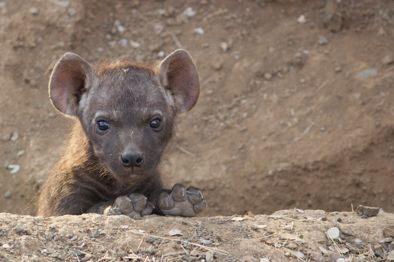 Hyena pub, we came across the den on an early morning game drive in the Kruger National Park, South Africa.