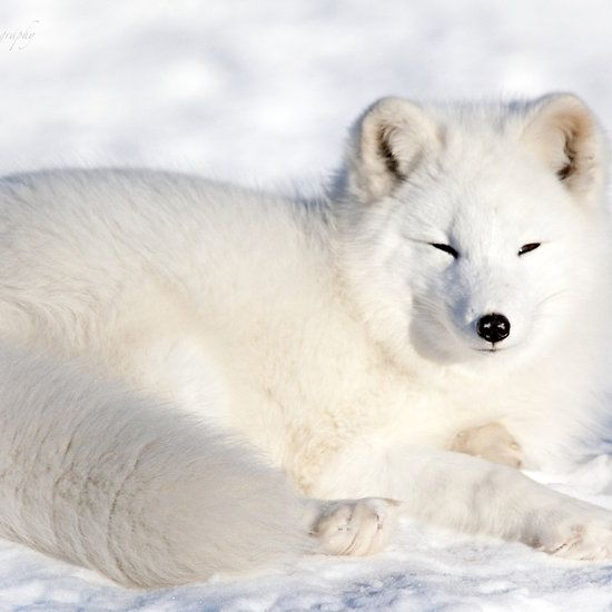 Resting Arctic Fox