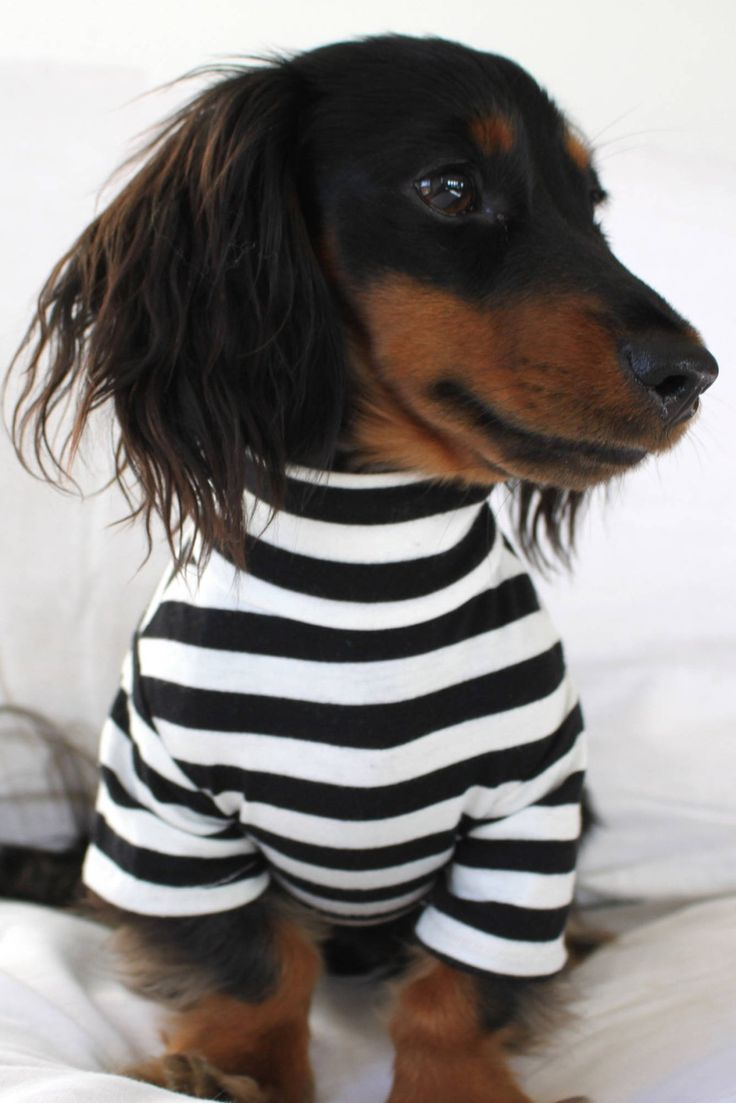 In case you haven't smiled today, here's a dog in a striped shirt.