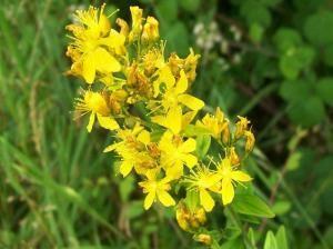 Dziurawiec - rośliny lecznicze w ogrodzie