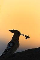 Silhouette of Common Hoopoe (Upupa epops) with prey. Lleida. Catalonia. Spain.  http://deepwildphoto.photoshelter.com