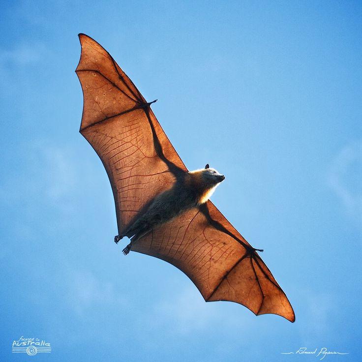Roussette à tête grise - Pteropus poliocephalus | Grey-headed Flying-foxes: http://tazintosh.com #FocusedOn #Photo #Chauve-souris #Chiroptera #Bat #Aile #Wing #Canon EF 100-400mm f/4.5-5.6L IS USM #Canon EOS 7D #Ciel #Sky #Nuage #Cloud #Roussette à tête grise #Pteropus poliocephalus #Grey-headed Flying-foxes #Voler #Fly