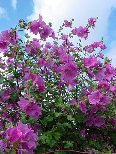 Bush Mallow (Lavatera), 6-10 ft., pink flowers in summer and throughout the year, full sun to part shade, drought tolerant, cut back hard in winter to maintain density. Dwarf varieties avail…