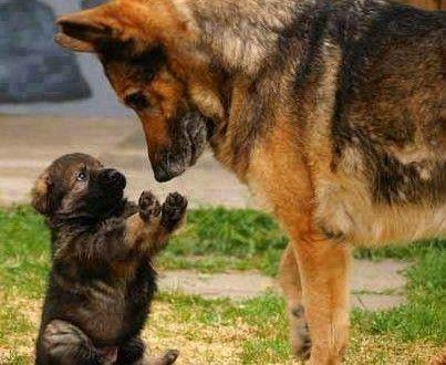 O Pastor alemão e seu filhote