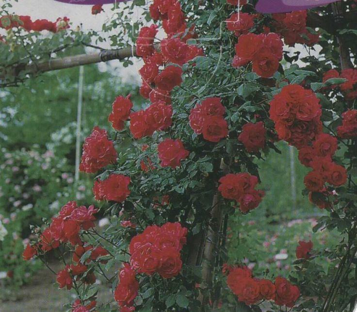 Es el Rosal Trepador, colocaremos 2 en cada lado de las paredes de la casa que dan al jardín. http://tienda.augustajardin.com/p118039-rosal-trepador-chrysler-imperial-rojo.html