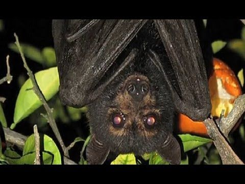 Bats - Top 10 Unknown Facts