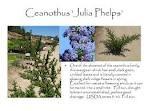 Ceanothus (Wild Lilac) Julia Phelps