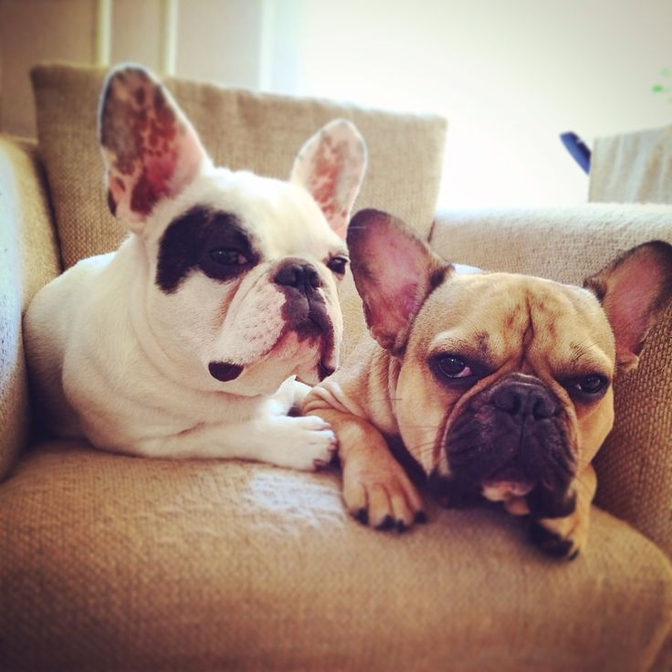 French Bulldogs.