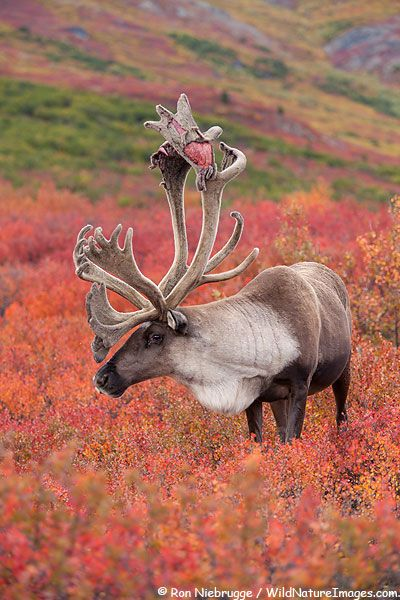 Caribou: Wild Animal, Animales Deer Elk Moose, Animal Kingdom, Natural Beautiful, Antlers, Bull Caribou, Alaska Animal, Denali National Parks, Autumn Colors