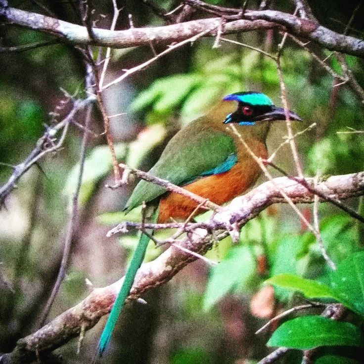 It's #Carnival Tuesday and the Christian world purposefully sins before the long 40 days of spiritual cleansing before the Holly Week. Meanwhile in the rainforest of Panama some #birds like this Whooping #Motmot never get rid of their custom. Today will spend Carnival searching for some of the rarest of the birds of #Panama.