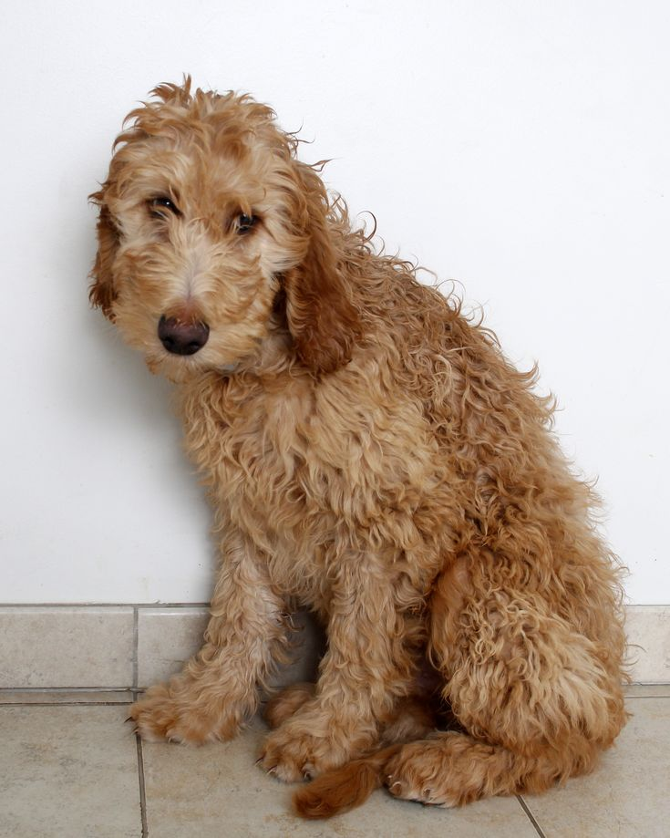 irish doodle dog for adoption in eden prairie mn adn