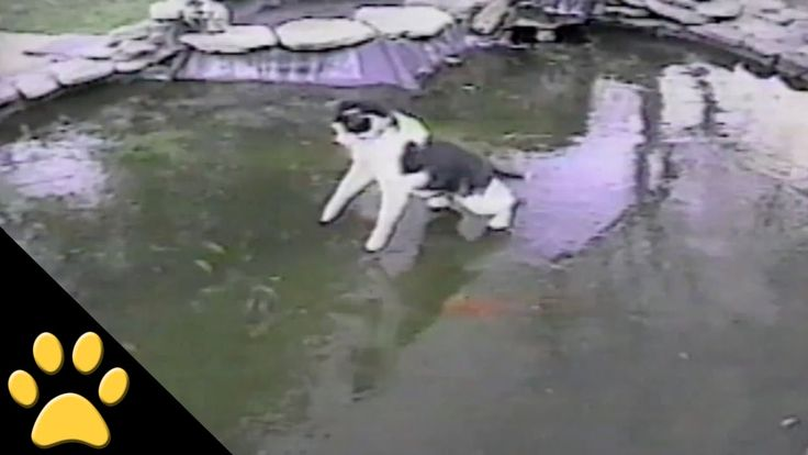 Curious Cat Slides on Frozen Pond in an Attempt to Catch Fish Swimming Just Under the Icy Surface