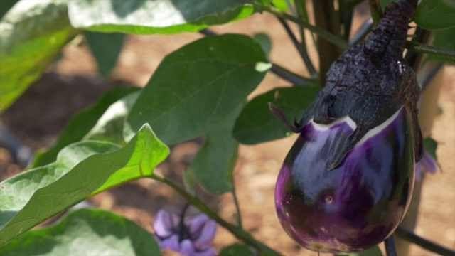 Sapete che a #Ustica si coltiva una varietà di #melanzana unica al mondo?  #slowfood #bio #organic #sicilia #sicily  LEGGI QUI --> http://bit.ly/1N0UZ4g