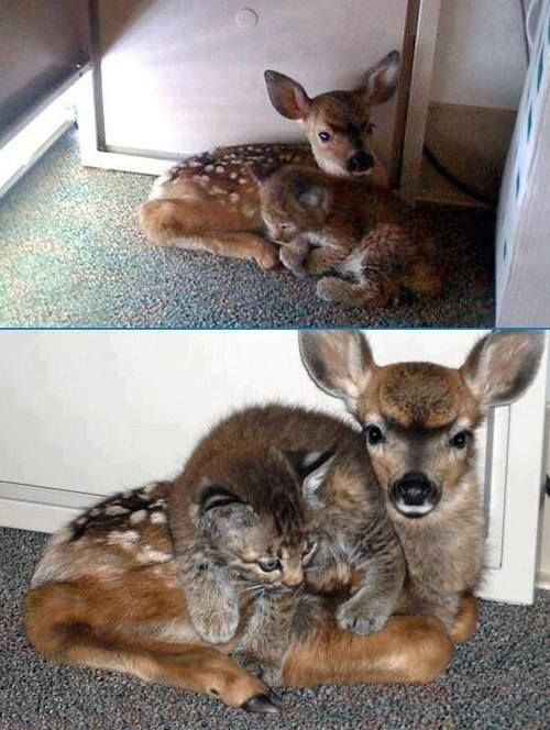 Baby bobcat and baby deer. Remember to sleep together with your best friend and you will dream happy dreams.
